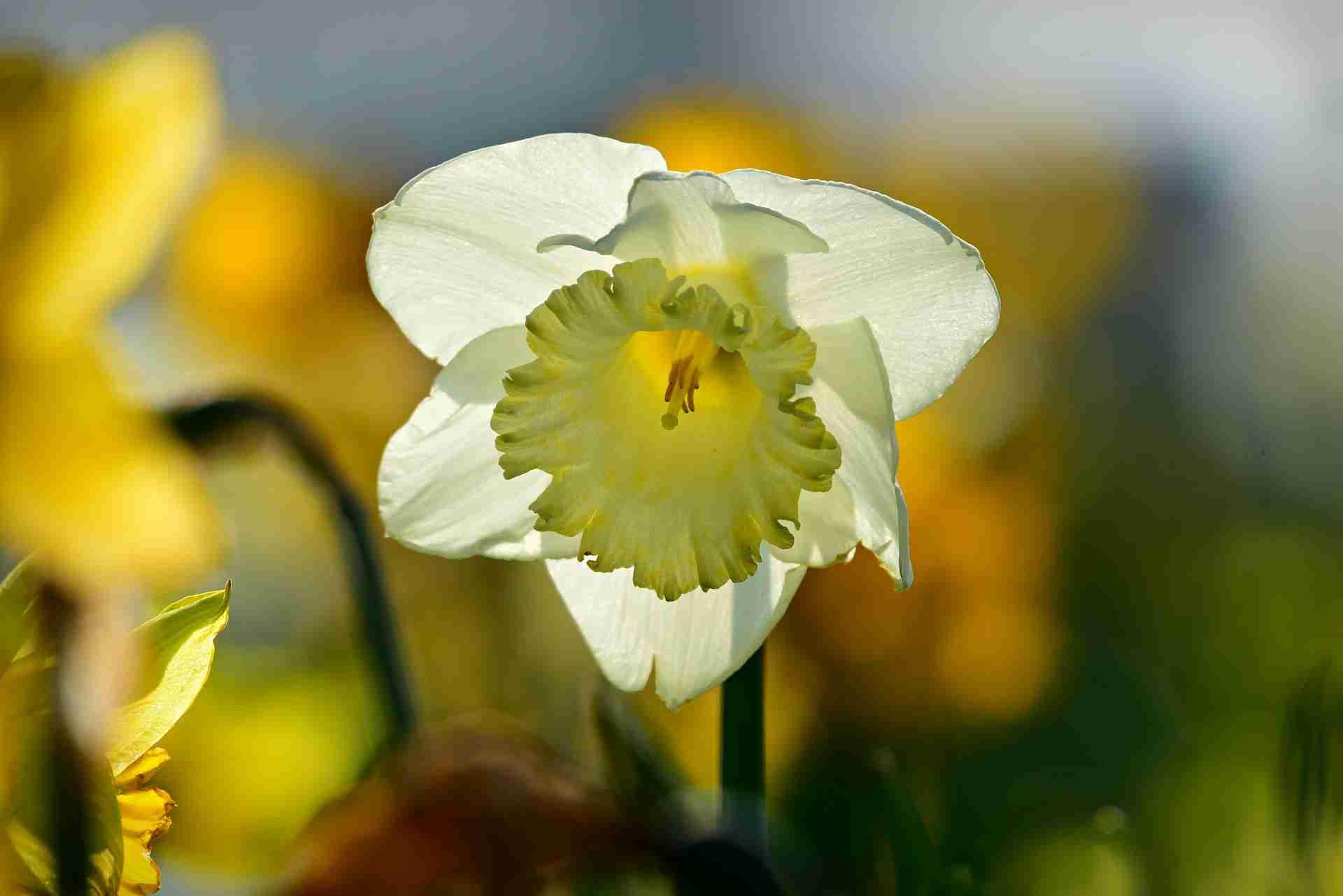 daffodil-4092413_1920